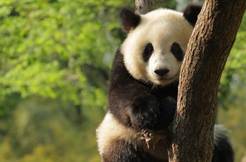 pandaNota