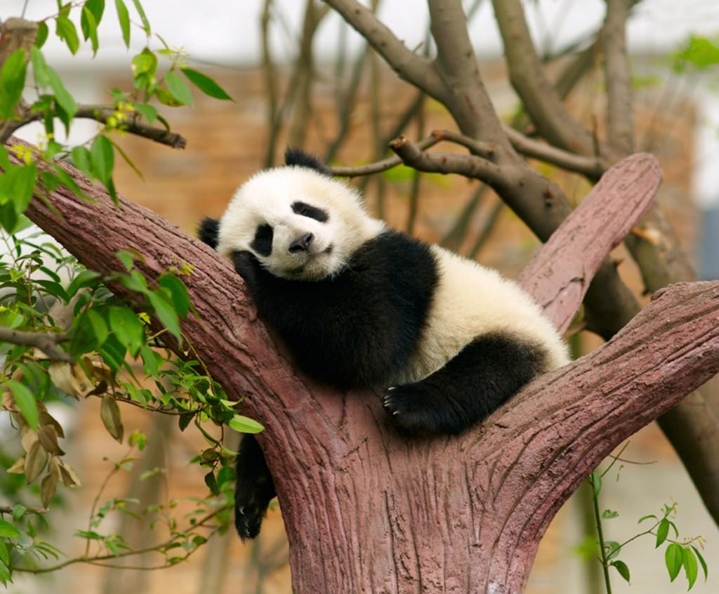 El hombre, depredó su hábitat natural hasta que el gobierno asiático puso un hasta aquí, para buscar la protección de este carismático animal.