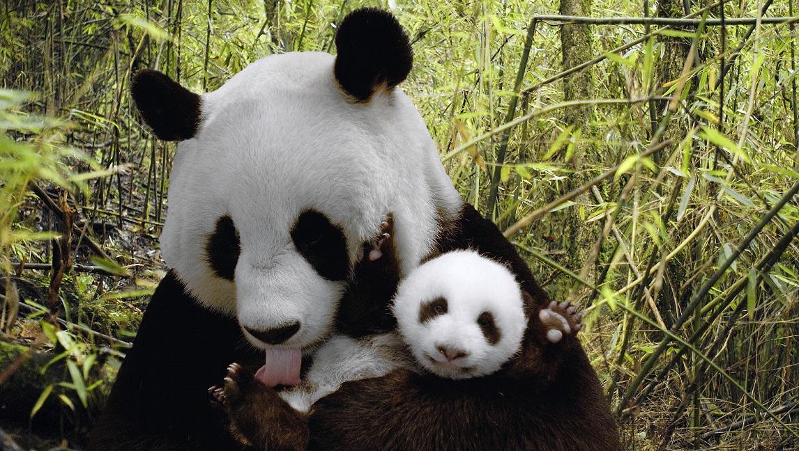 Hoy en día podemos estar contentos de que gracias al esfuerzo de muchos hombres, el Panda ahora es Especie Protegida.