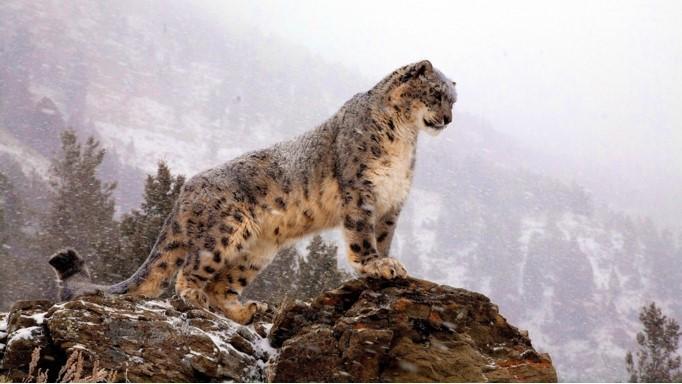"""Al Leopardo de las Nieves también se le llama """"Irbis"""" y """"Onza""""."""