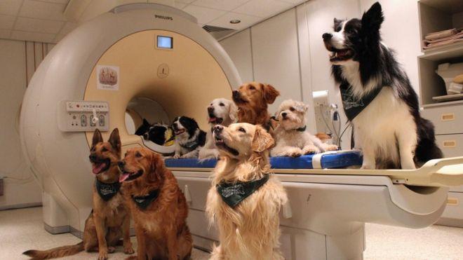 Fueron 13 perros eran de diferente raza y al momento del escaneo escuchaban a su amo mediante auriculares para reconocer las reacciones a las palabras y el contacto.