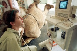 British veterinarian Lulu Skidmore, of Kent, checks a female dromedary camel for pregnancy using an ..