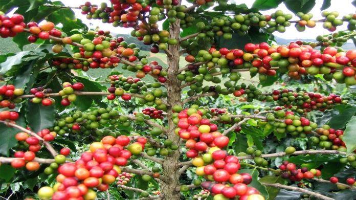 cafe en peligro de extinción