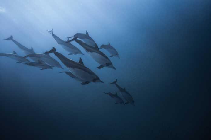 delfines, toxinas, pez globo, delfines ingieren toxinas de pez globo, delfines juegan con peces globo por sus toxinas