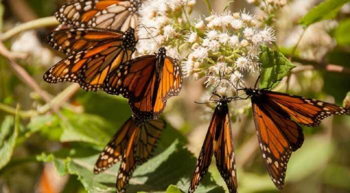 mariposa monarca, Michoacán, Estado de México, estados, mariposa, mariposas, México, Entinción, peligro de extinción, Profepa, marina, Sociedad Xerces para la Conservación de Invertebrados
