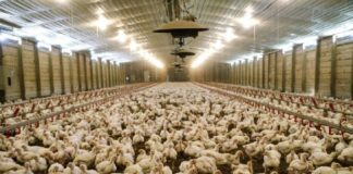 huevo, pollos, gallinas, granjas, granjas industriales, crueldad animal, aves, Unión Europea, carne, industria de la carne, propiedades nutricionales, gallos