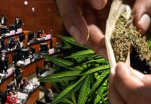 mexico potencia mundial cannabis, cannabis, cannabis mexico, mexico productor cannabis, legalize marijuana on mexico, mexico legalize marihuana, mexico marihuana, senado aprueba cannabis, portacion de marihuana en mexico, cuanto puedes portar de marihuana