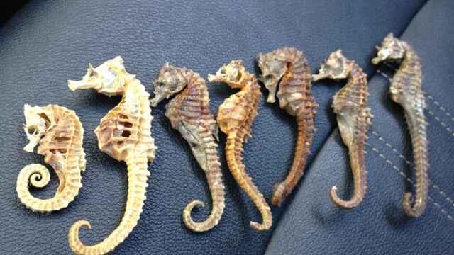 caballitos de mar