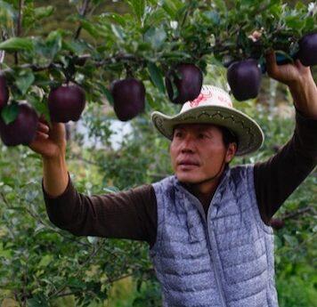 manzanas negras, manzana negra, venta manzana negra, comercializacion manzana negra, donde venden manzanas negras, manzanas chinas, manzanas raras, colores de manzana, manzana morada,