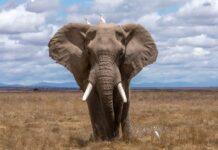 elefantes, Los elefantes se comunican igual que los humanos, ¿Cómo se comunican los elefantes?, El habla de los elefantes, El habla de los elefantes se asemeja mucho al de los humanos, esta probada la existencia de esta comunicación entre los elefantes, 470 señales de elefantes, para producir los sonidos tanto los elefantes como los humanos necesitan un flujo de aire