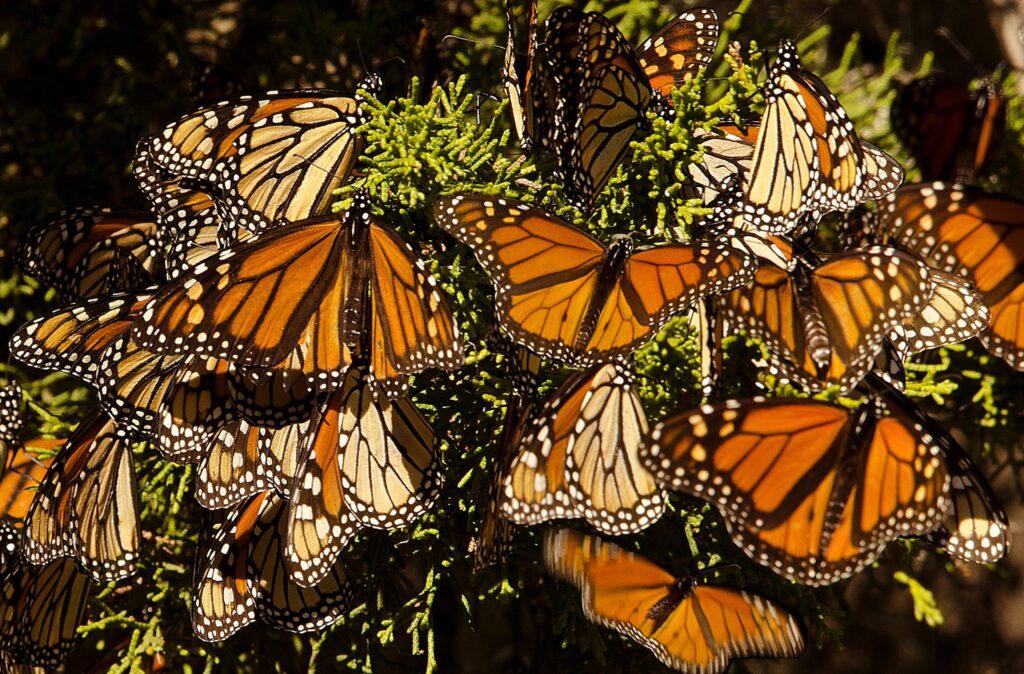 Colibri robot, colibrí robot espía mariposas monarca, mariposas monarca